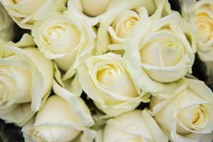 White Rose, Avalanche Arend