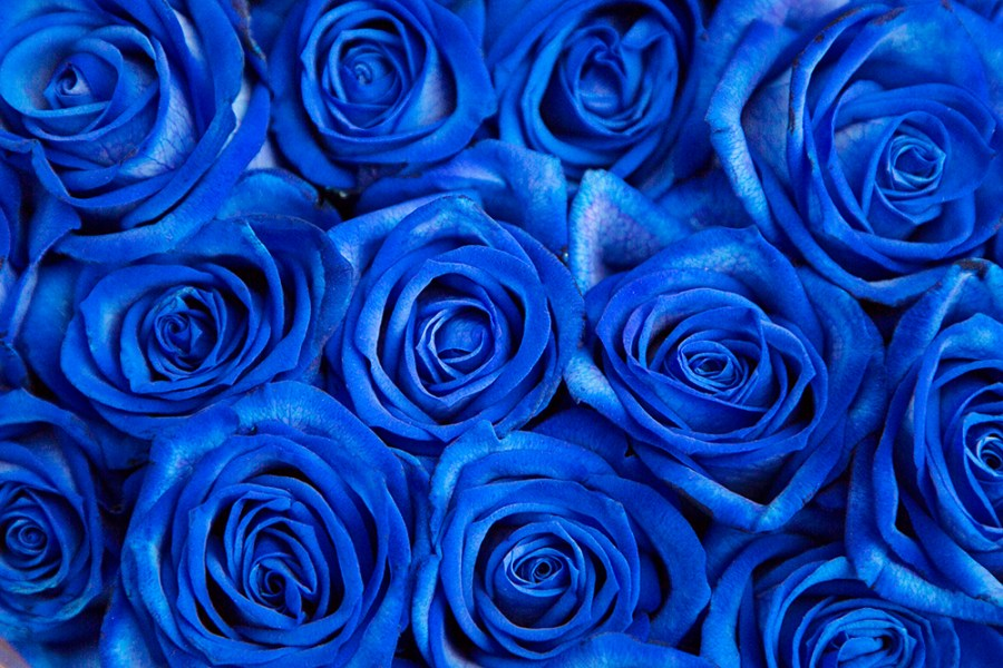 Vendela Blue Rose