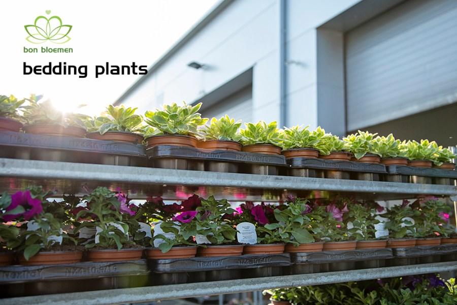 Bedding Plants