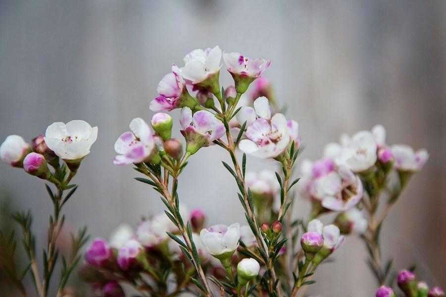 Chamelaucium Moonlight Pink