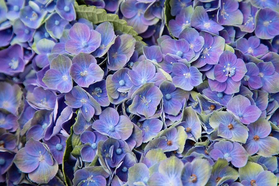 Hydrangea Amethyst Blue