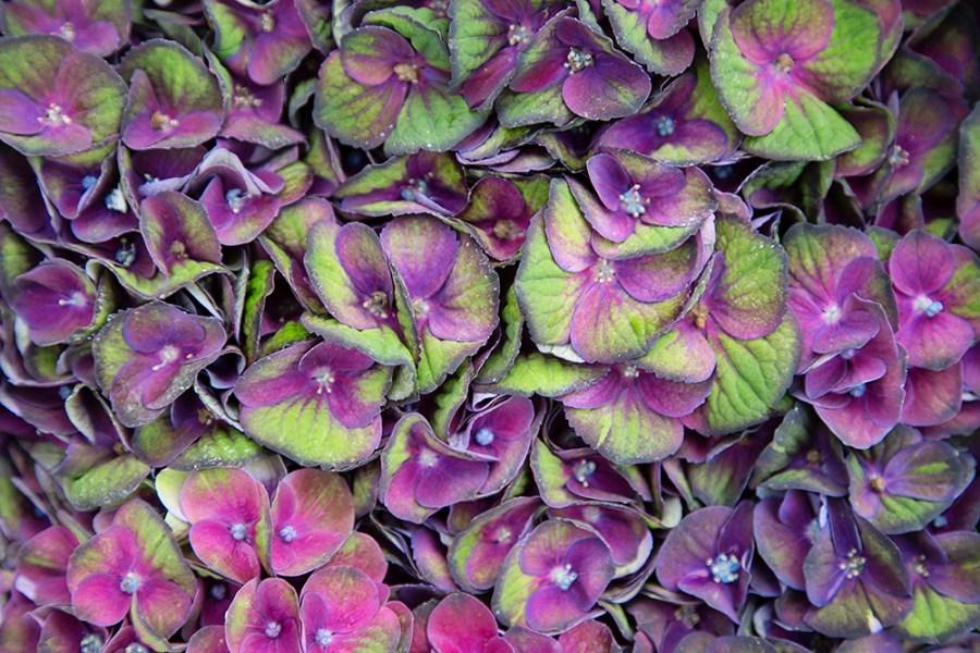 Hydrangea Charlotte Disco