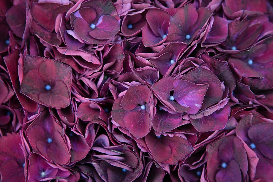 Hydrangea Ruby Aubergine