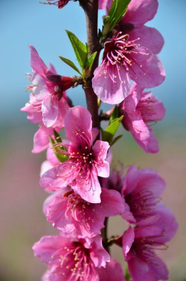 Pretty in Pink | Bloesemtocht Benisanet | Bloesemtocht Miravet | Bloesemtocht Mora d' Ebre
