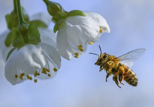 Bee about to pollinate white flower plant.