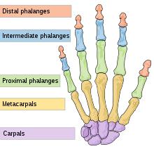 Hand wrist bones