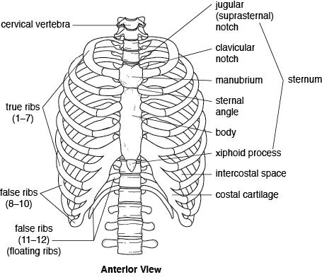 Thorax Bones
