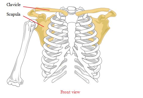 Scapula anatomy and thorax
