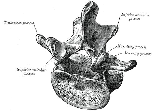 Lumbar Vertebra
