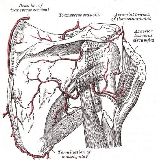 Rotator Cuff Anatomy And Significance Bone And Spine