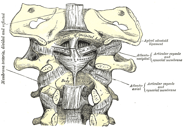 Anatomy Of Cervical Spine Bone And Spine
