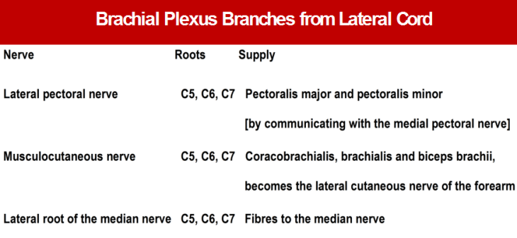 Branches from lateral cord of brachial plexus