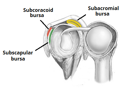 Bursae of Shoulder Joint