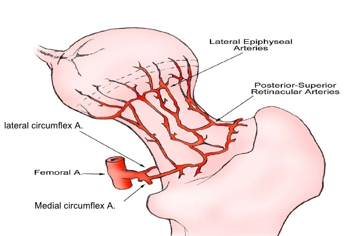 Proximal Femur Blood Supply