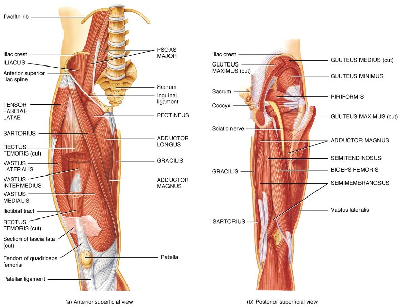 Muscles Of Hip Bone And Spine