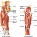 Muscles of Hip