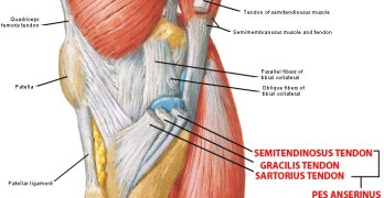 Heel tendons anatomy