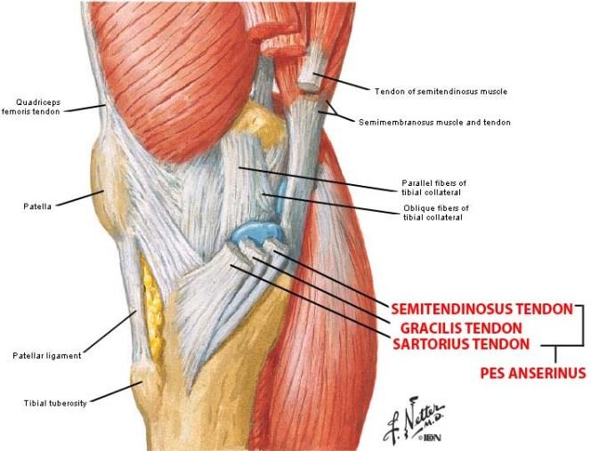Pes Anserinus Bursitis Symptoms and Treatment | Bone and Spine