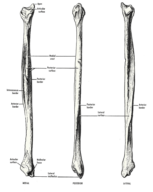 Fibula bone different views