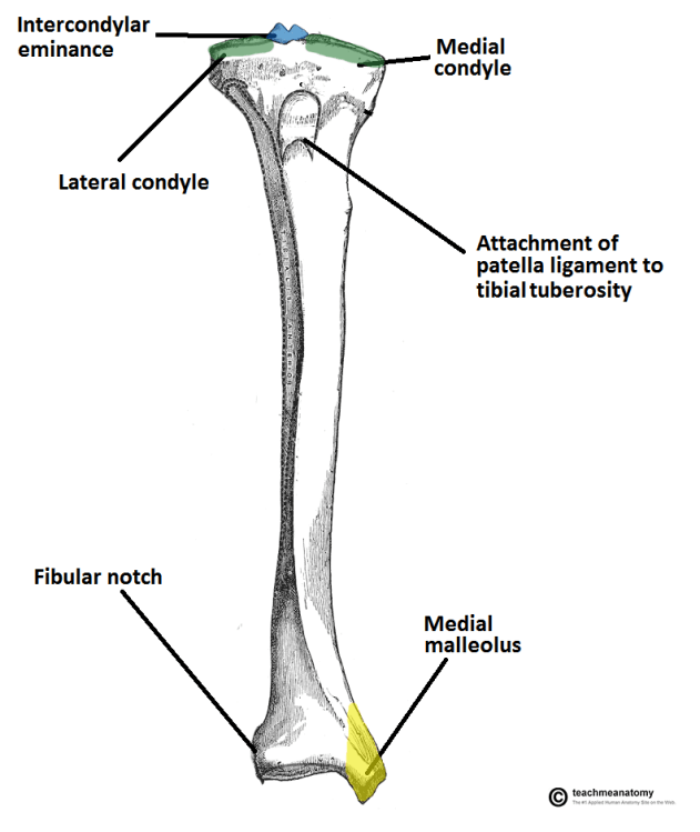 Tibia Anatomy and Attachments | Bone and Spine