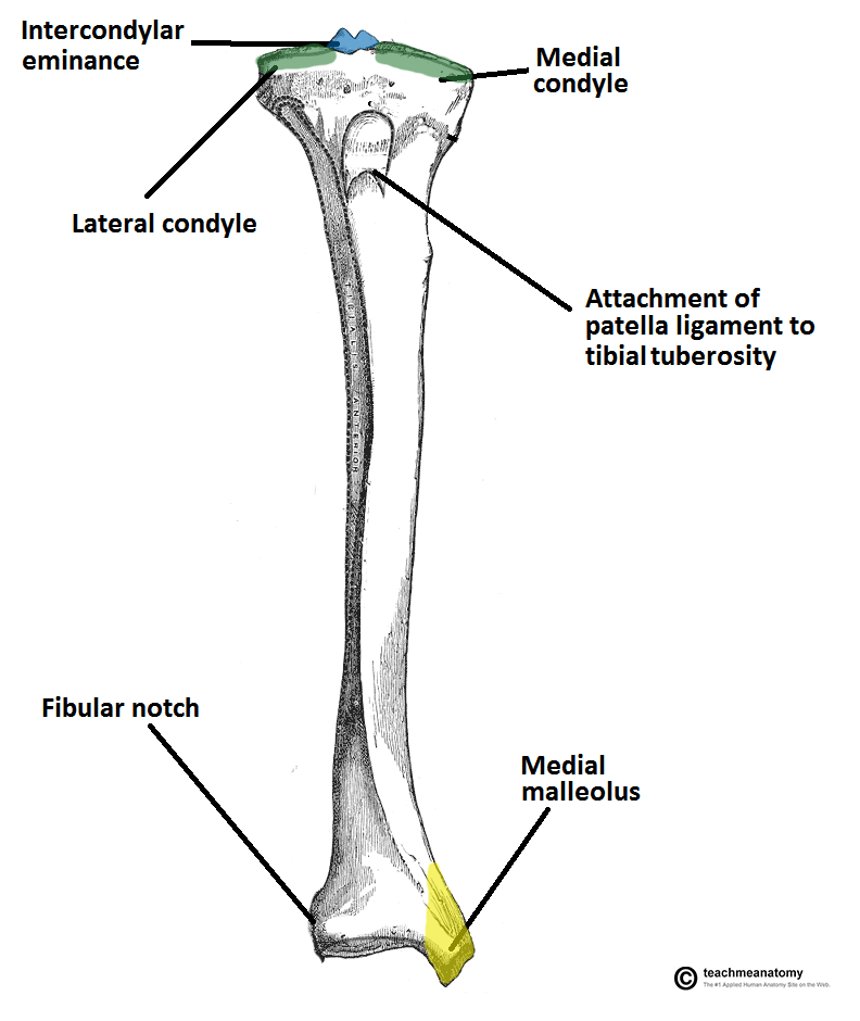 Tibia Soleal Line Diagram Layout Wiring Diagrams