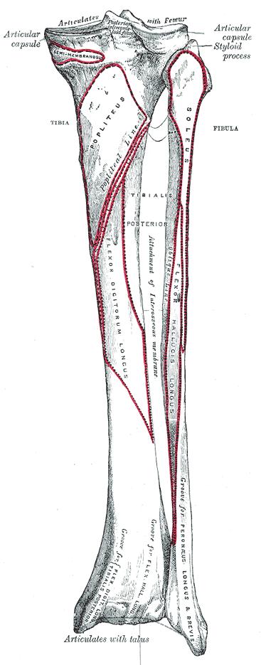 tibia-attachements-anterior-aspect