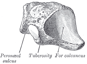 cuboid bone view