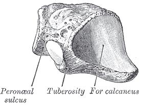 cuboid bone view