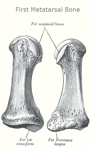 First metarsal bone