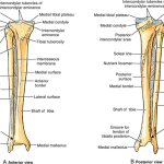 Tibiofibular Joint Anatomy