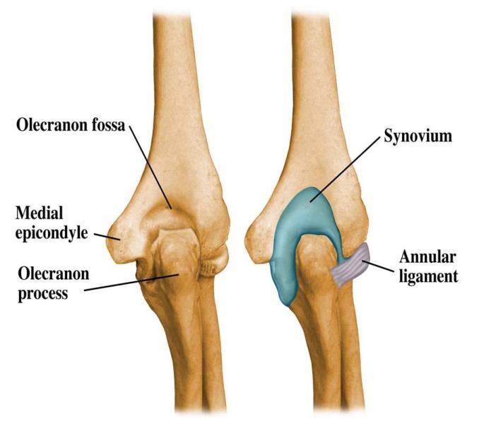 Elbow diagram anatomy