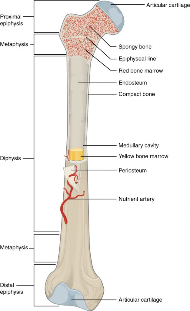 Parts of the long bone