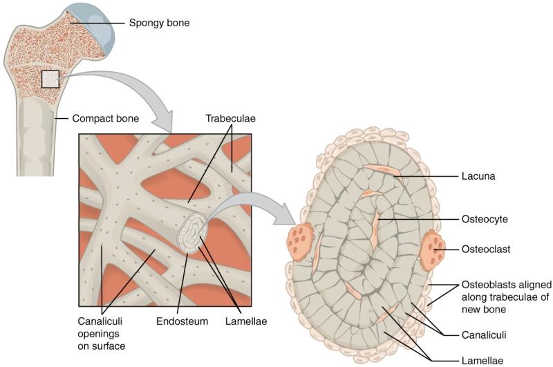 Bone Anatomy and Physiology | Bone and Spine