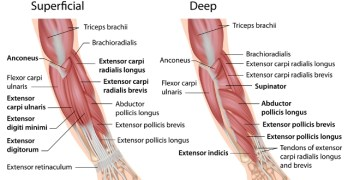 Muscles of Hand and Wrist