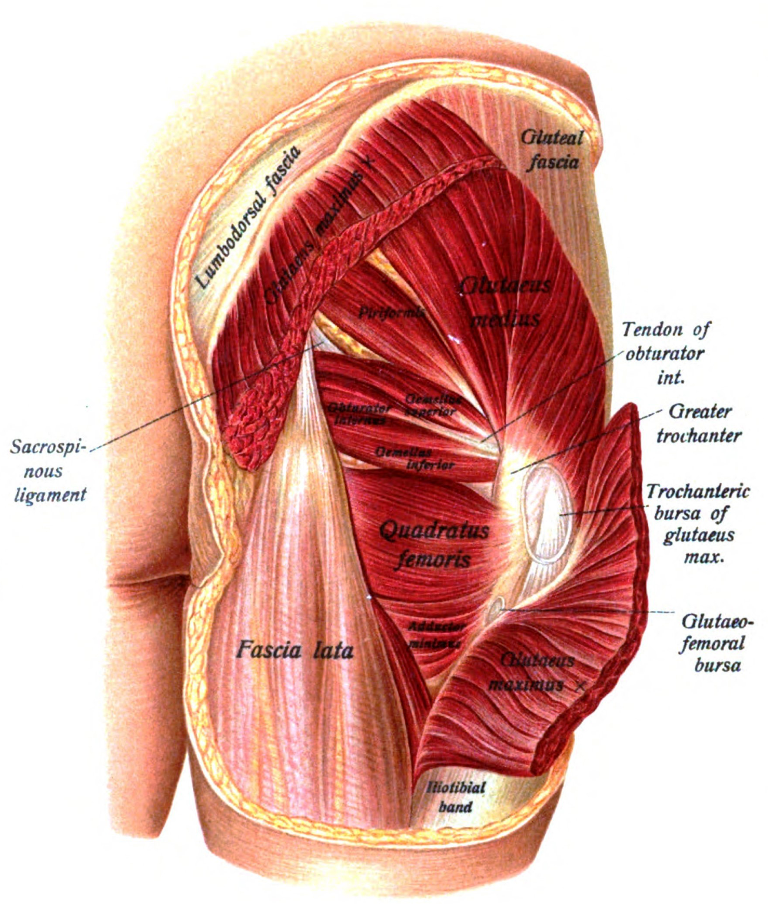Muscles of Gluteal Region as seen from behind