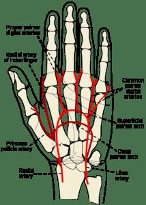 arteries of hand