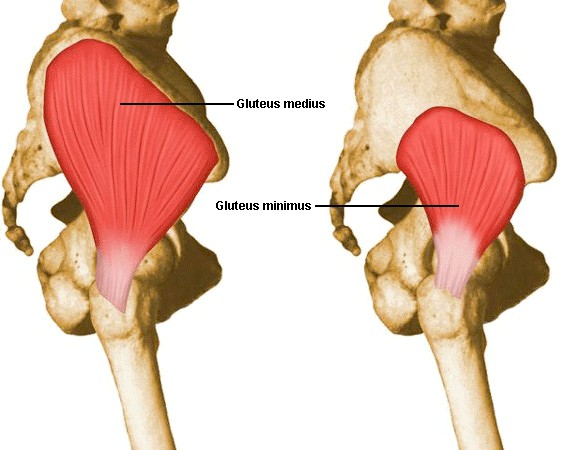 Muscles of hip- gluteus medius and minimus