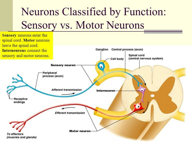 sensory and motor neuron