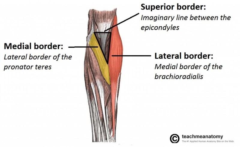 Cubital Fossa Or Antecubital Fossa Anatomy Bone And Spine