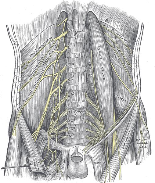 Disseaction of abdomen showing lumbar plexus
