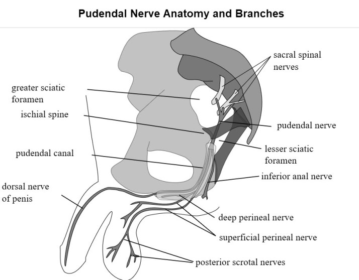 Pudendal Nerve anatomy and branches, Wiki PD