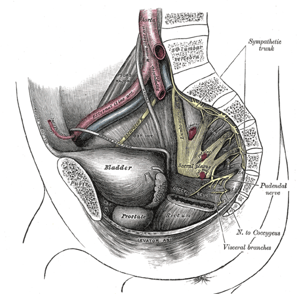 Pudendal nerve seen in cross section of pelvis