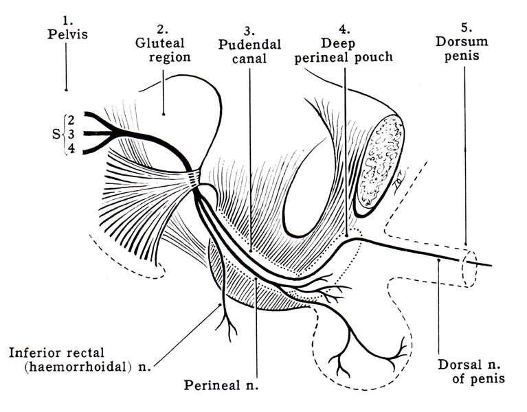 Pudendal Nerve Anatomy and Function | Bone and Spine