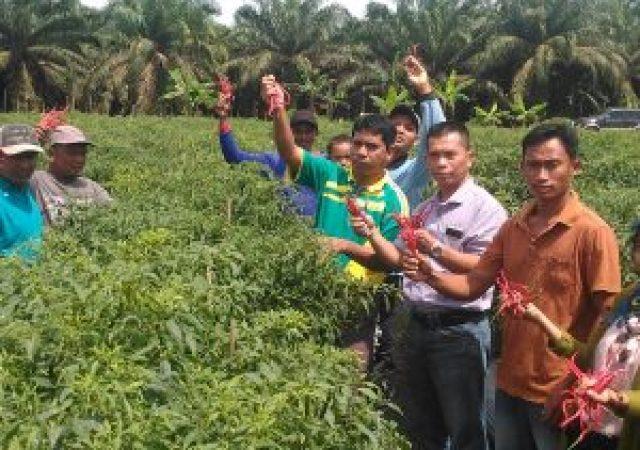 Petani Cabe Binaan PT.IKPP Kampung Langsat Permai Panen Raya