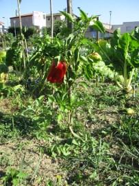 poivron-rouge-3