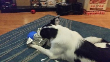 Bonnie the Border Collie playing with a Nerf squeaker american football
