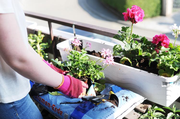 Südbalkon: Tipps für die Pflege Geranien