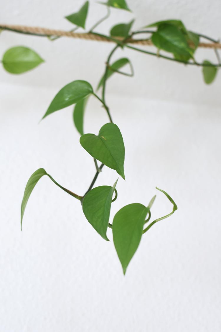 Epipremnum aureum-vermehren-anleitung