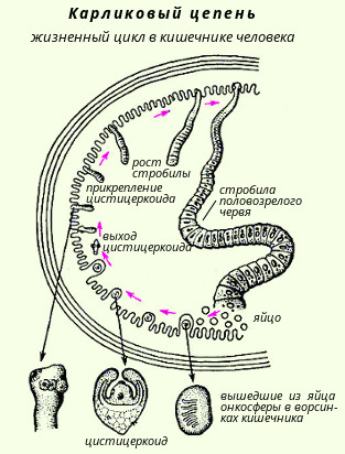 teniosis biohelminth