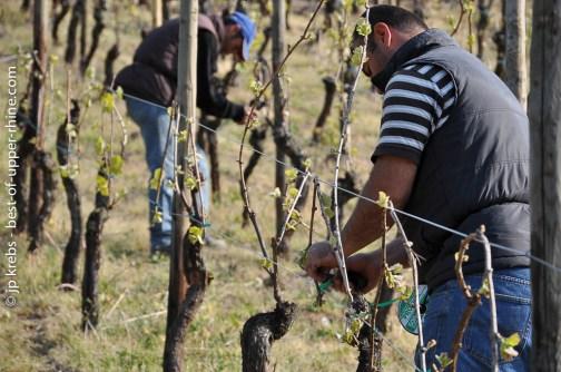 Taille de la vigne à Riquewihr